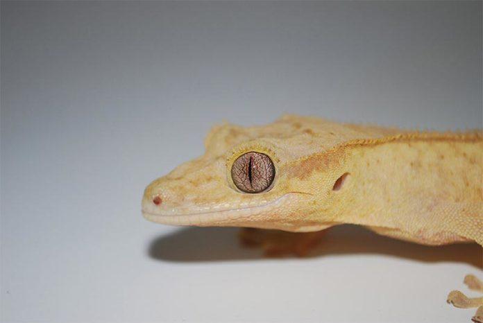 Un lagarto gecko con la cola cortada puede regenerarla, pero el reemplazo es una copia imperfecta del original